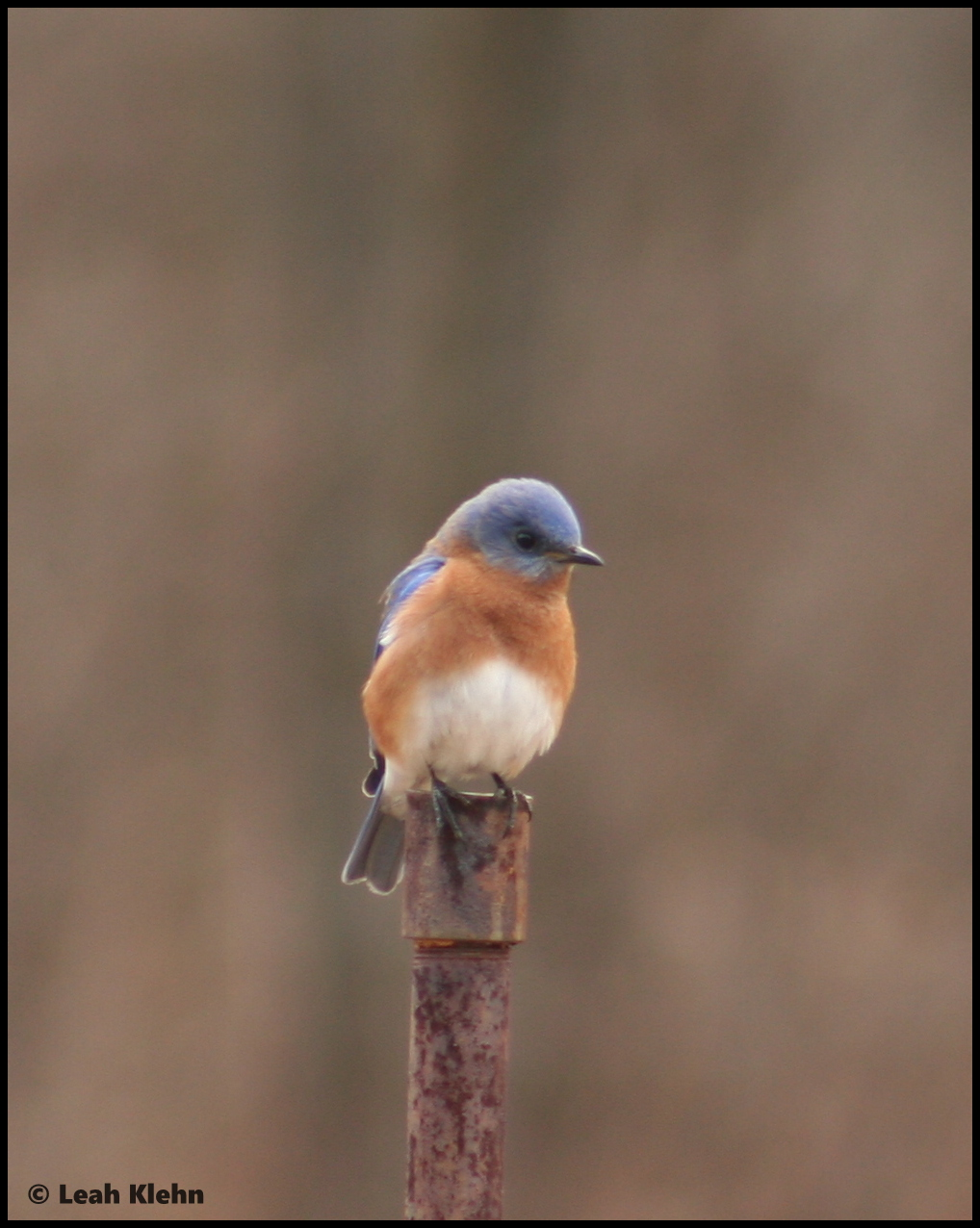 Male Easter Bluebird