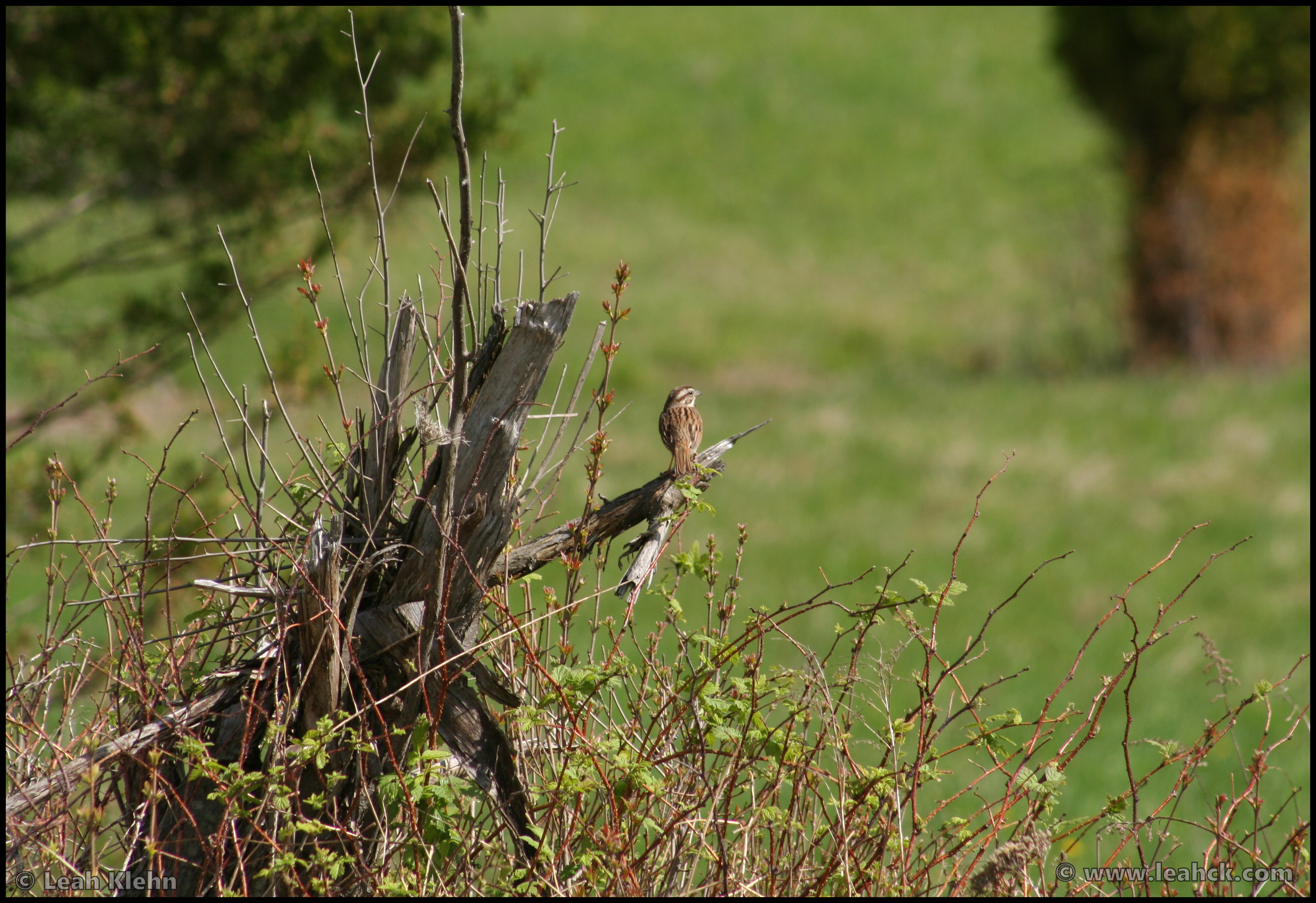 Field Sparrow - Mine Kill State Park- NY