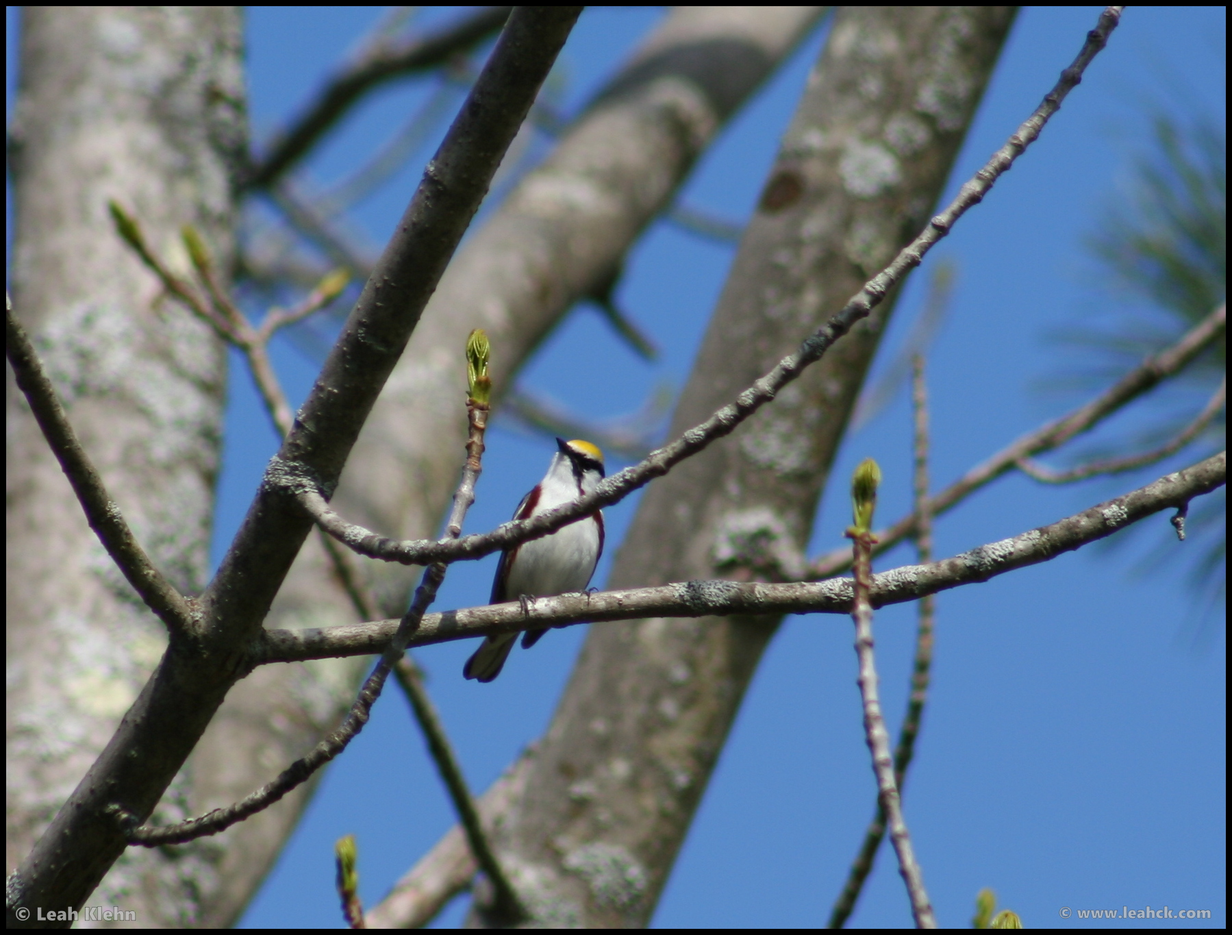 Chestnut-sided Warbler - Mine Kill State Park - NY