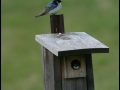 Tree Swallow family - Mine Kill/NYPA NY