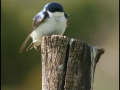 Tree Swallow - Mine Kill State Park - NY