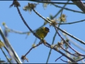 Cape May Warbler - Mine Kill State Park - NY