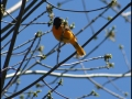 Baltimore Oriole - Mine Kill State Park - NY