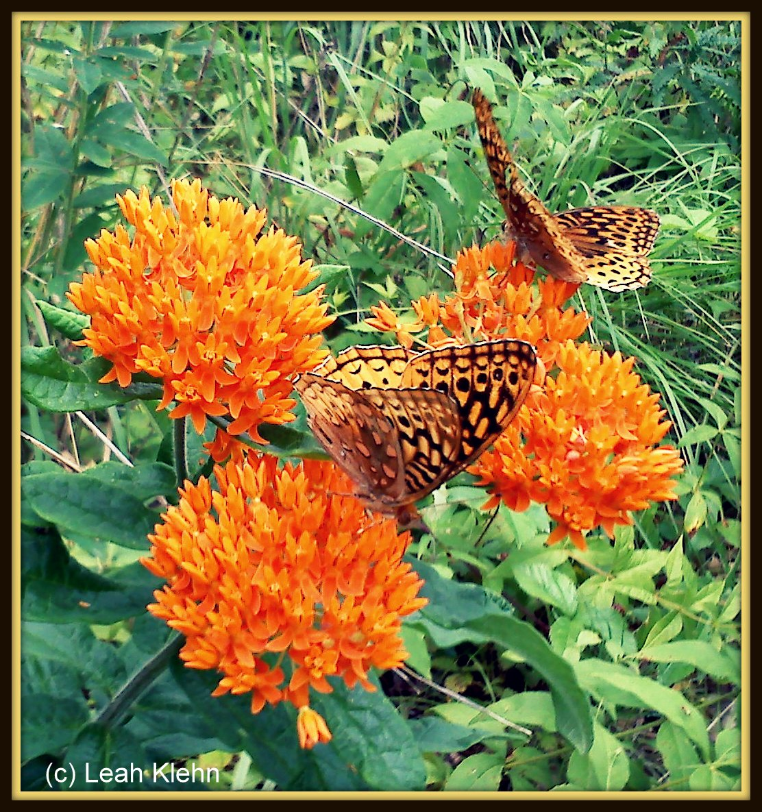 Great Spangled Fritallary Couple