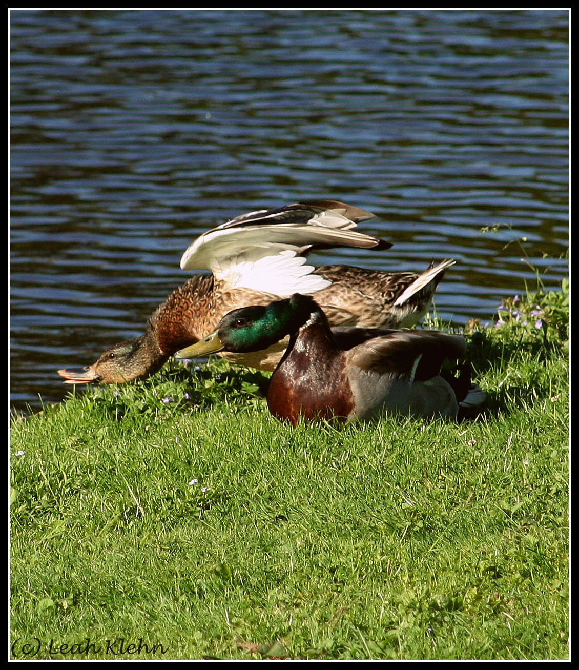 Stretching Mallards