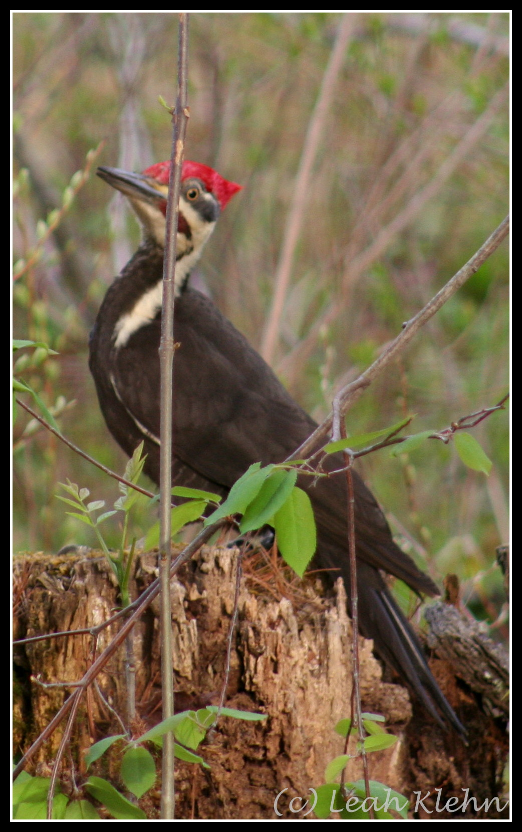 Pileated Woodpecker [2]