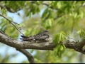 Female Common Nighthawk